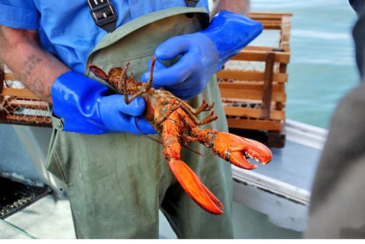 加拿大龙虾产业